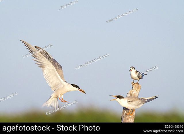 Common Tern (Sterna hirundo), adult feeding young. Nemunas Delta. Lithuania