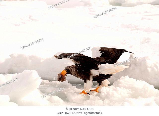 Steller's eagle, Haliaeetus pelagicus (Pygargue de Steller) Russia