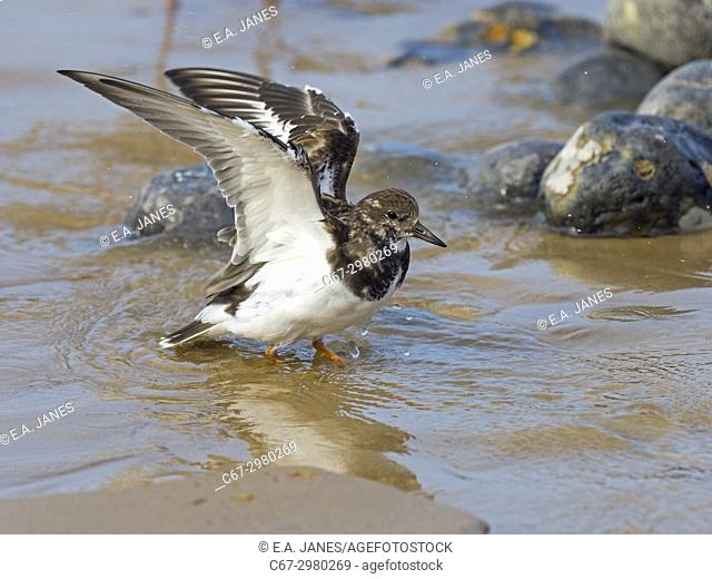 Turnstone Arenaria interpres bathing at low tide Sherringham Norfolk