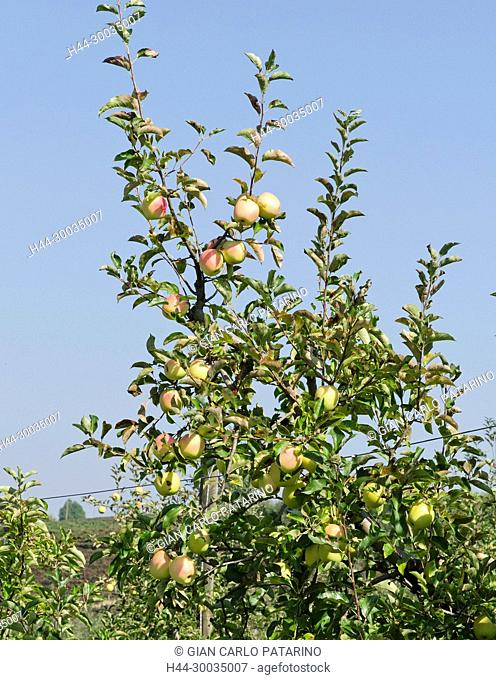 Italy, fruits of Piedmont Langhe-Roero and Monferrato on the World Heritage List UNESCO. Fruits of apple delight