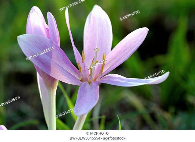 meadow saffron Colchicum autumnale, flower, Germany