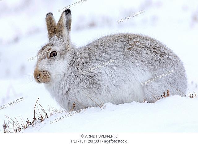 Close up of mountain hare / Alpine hare / snow hare (Lepus timidus) in white winter pelage foraging on hillside during snowstorm