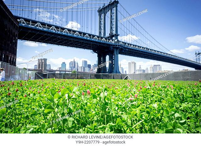 The Manhattan Bridge looms behind the John Street Pasture in the Dumbo neighborhood of Brooklyn in New York. The 6000 square foot field of blooming clover is a...