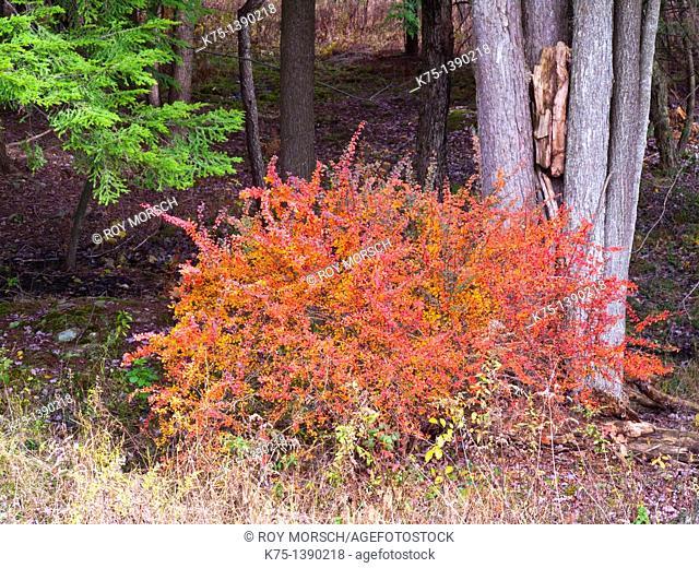 barberry bush in autumn
