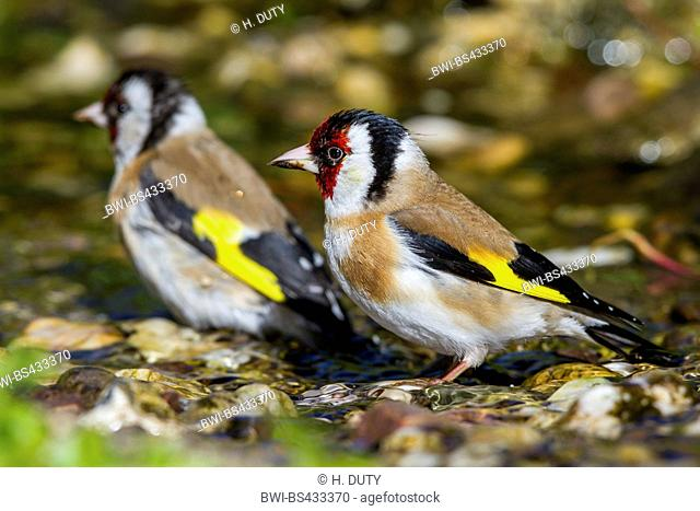 Eurasian goldfinch (Carduelis carduelis), two Eurasian goldfinches bath in a brook, Germany, Mecklenburg-Western Pomerania