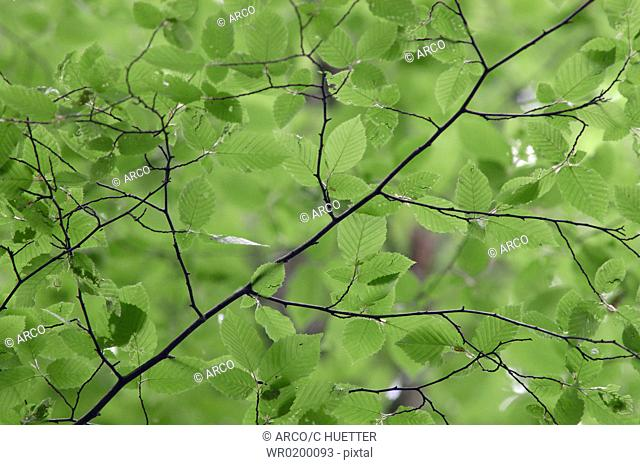 Beech, leaves, in, spring, North, Rhine-Westphalia, Germany,Fagus, sylvatica