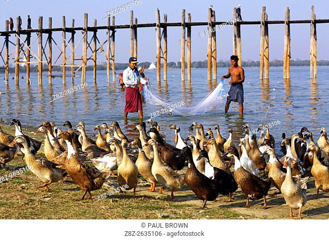 Fishermen fishing with a net and ducks in front of the U Bein Bridge across the Taungthaman Lake in Amarapura, Mandalay, Myanmar (Burma) believe to be the...
