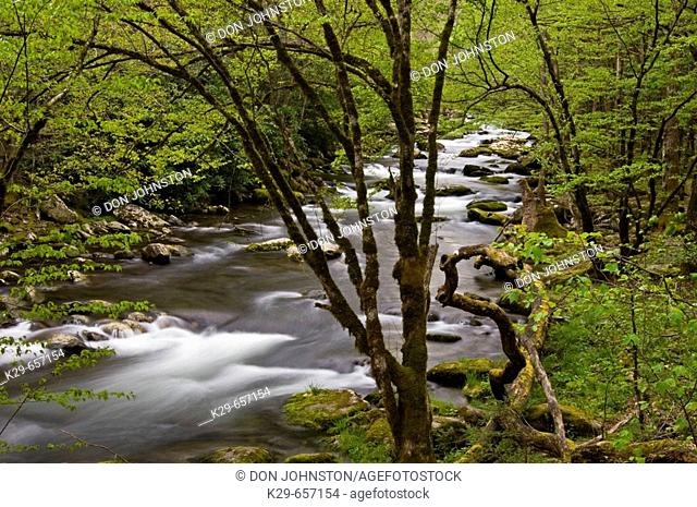 Spring foliage overhanging rapids in Middle Prong of Little River. Great Smoky Mountains National Park, Tennessee, Appalachian, USA