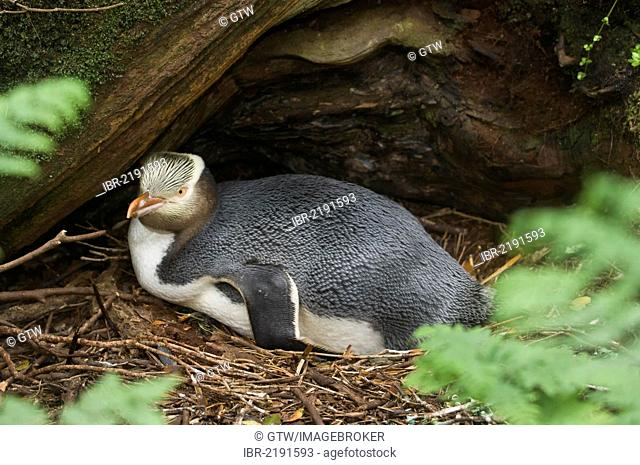 Yellow-eyed penguin (Megadyptes antipodes) nesting under roots in the rata forest, Enderby Island in the Auckland Islands, New Zealand Subantarctic Islands