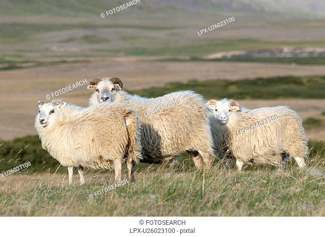 Woolly sheep standing in the grassland
