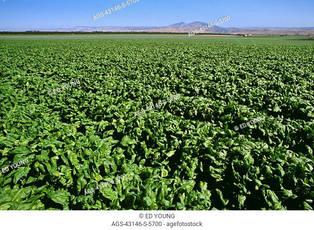 Agriculture - Field of mature spinach, ready for harvest / CA - Salinas Valley, nr. Greenfield
