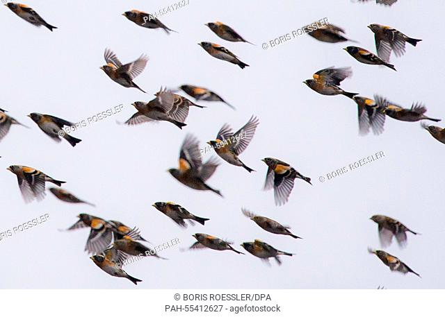 Countless Bramblings return to their resting trees near Haiger, Germany, 27 January 2015. According to ornithologists, clearly over a million of these migratory...