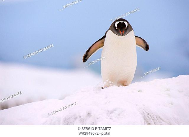 A gentoo penguin (Pygoscelis papua), Petermann Island, Antarctica, Polar Regions