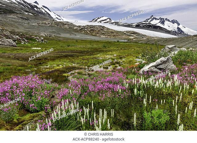 British Columbia, Canada, Chilcotin region, moraine landscape, first generation vegetation, broad-leaved willowherb, epilobium latifolium, white bog-orchid