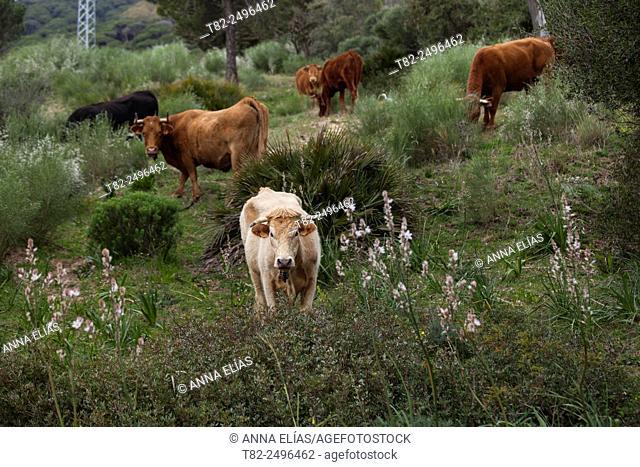 Retinta cows grazing in the field, Tarifa, Cadiz, Andalucia, Spain, Europe