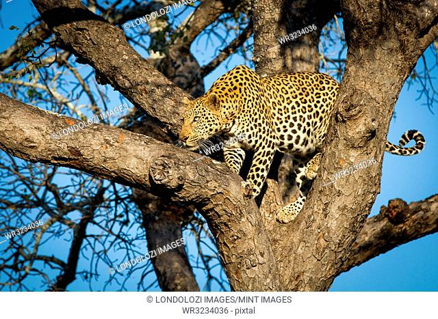 A leopard, Panthera pardus, stands in a tree, looks along a branch