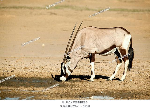 Gemsbok in desert