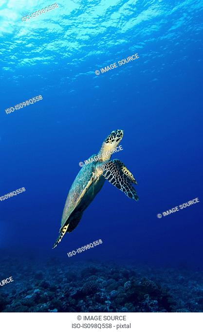 Turtle in mid-water