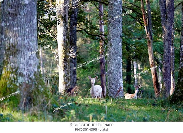 France, Burgundy, Yonne. Area of Saint Fargeau and Boutissaint. Fawns in the undergrowth