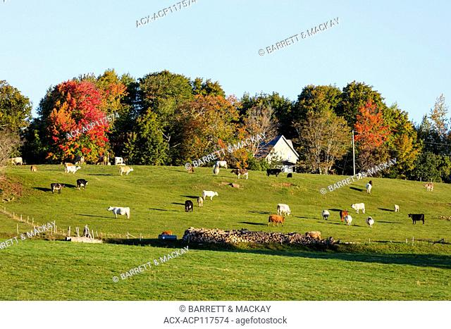 Cattle grazing, Bonshaw, Prince Edward Island, Canada