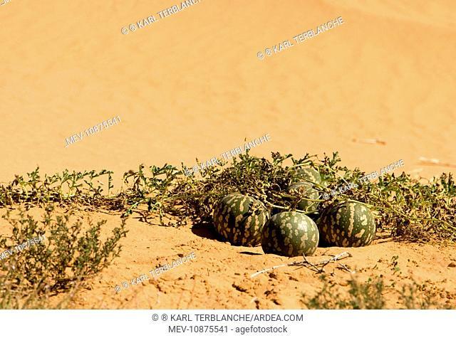 Tsamma Melon on Red Kalahari Sand. Kalahari Desert - Kgalagadi National Park - South Africa