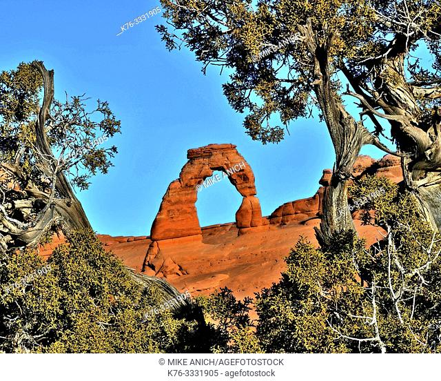Delicate Arch, Framed by a Pine Tree, Arches National Park, Moab, Utah