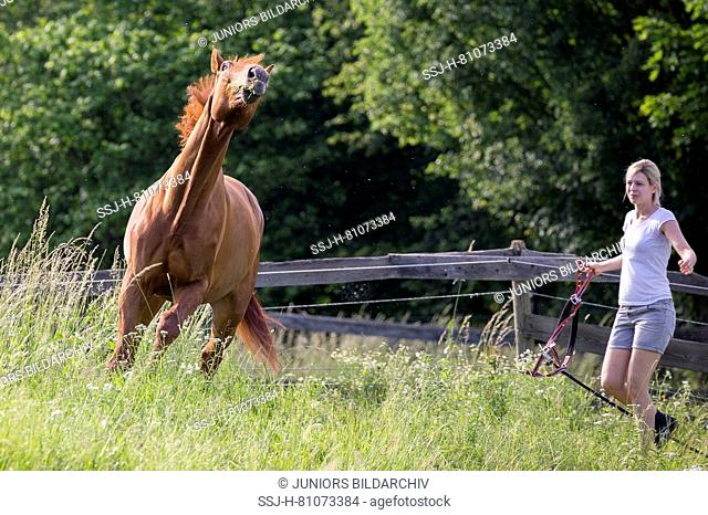 Austrian Warmblood. Woman trying to catch hestnut gelding on a pasture. Austria
