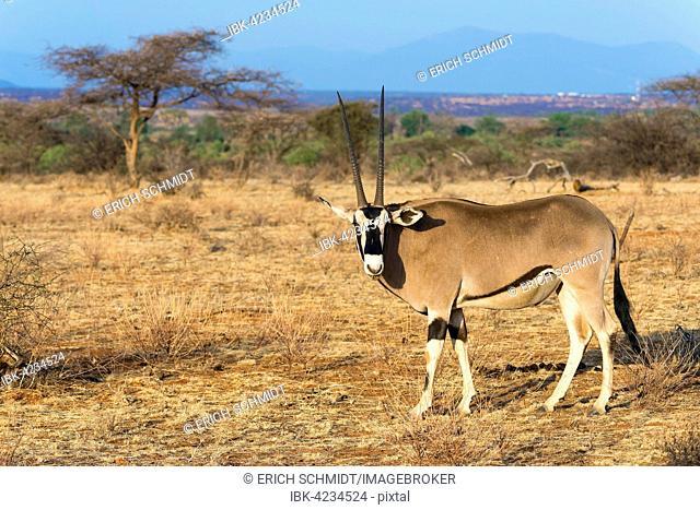 East African oryx or beisa (Oryx beisa), Samburu National Reserve, Kenya