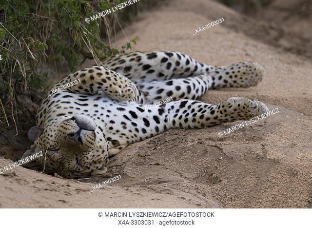 Male leopard (Panthera pardus), Okonjima Nature Reserve, Namibia