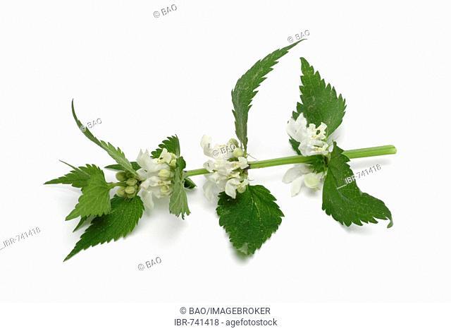White Deadnettle (Lamium album), medicinal plant