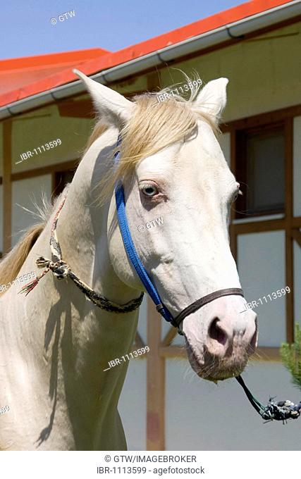 Ashgabat, Akhal-Teke horse in a stud farm, Turkmenistan