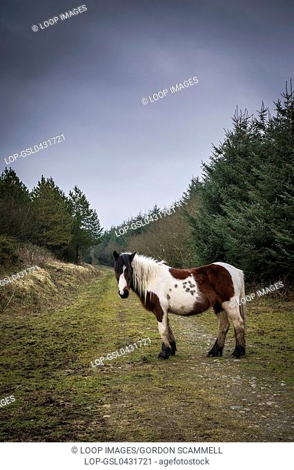 A Bodmin Moor pony standing on a track at Rough Tor in Cornwall