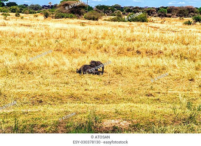 Elephant Calf running though the grass, Serengeti national park, Tanzania