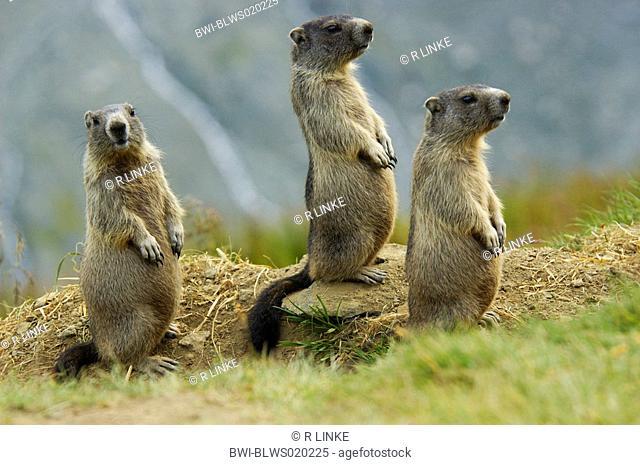 alpine marmot Marmota marmota, three youngs sitting upright, Austria, NP Hohe Tauern
