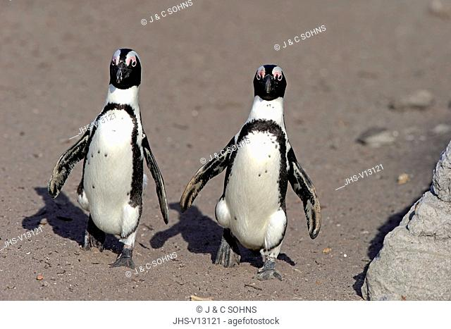 Jackass Penguin, African penguin, (Spheniscus demersus), adult couple walking at beach, Betty's Bay, Stony Point Nature Reserve, Western Cape, South Africa