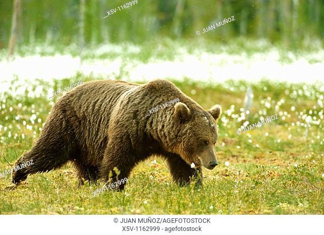 European brown bear Ursus arctos arctos in the field of Arctic cotton flower. Finland. Scandinavia. Europe
