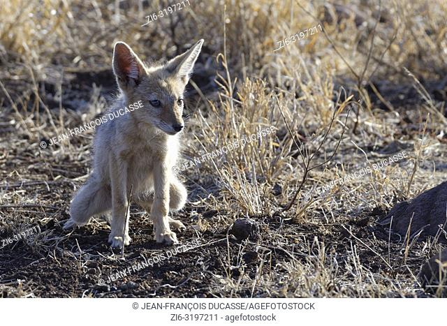 Black-backed jackal (Canis mesomelas), cub, defecating, Kruger National Park, South Africa, Africa