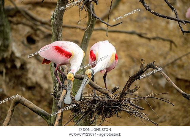 Roseate spoonbill (Ajaia ajaja) Courting pair, Smith Oaks Audubon rookery, High Island, Texas, USA