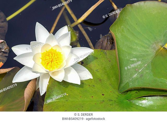 white water-lily, white pond lily (Nymphaea alba), blooming, Germany, Bavaria, Oberbayern, Upper Bavaria