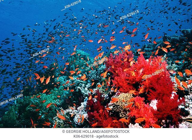 Reef scenery with Lyretail anthias or Goldies (pseudanthias squamipinnis).  Red Sea, Egypt