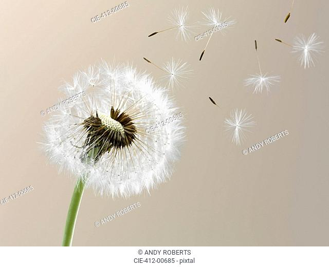 Close up of seeds blowing from dandelion on beige background
