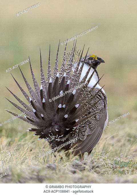 Sage Grouse male, Centrocercus urophasianus, displaying on lek, showing tale feathers from the rear, Montana, USA