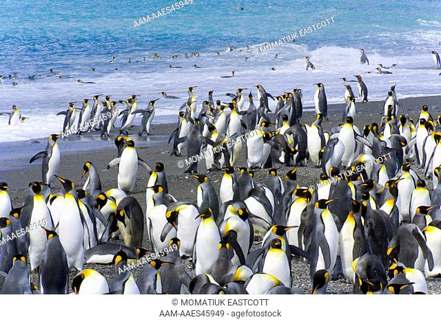 King penguins (Aptenodytes patagonicus) coming on beach near rookery after washing and cleaning their feathers and keeping their insulating qualities, fall