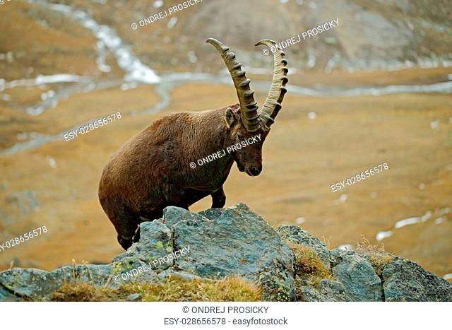 Alpine Ibex, Capra ibex, portrait of big antler animal with rock