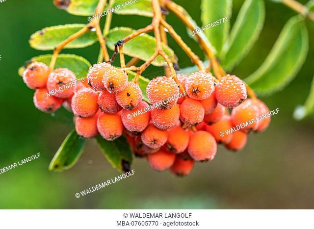 rowan berry or mountain ash, Sorbus aucuparia, Pyrus aucuparia, berries on tree