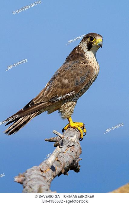 Peregrine Falcon (Falco peregrinus brookei), Immature perched on a dead branch, Campania, Italy