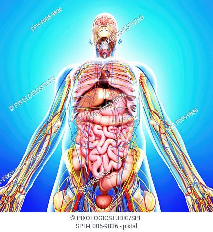 Male anatomy, computer artwork