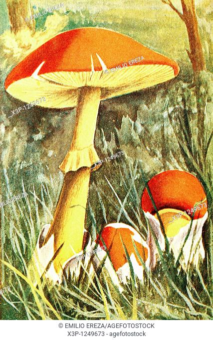 Caesar's mushroom  Amanita cesarea  Antique illustration  1900
