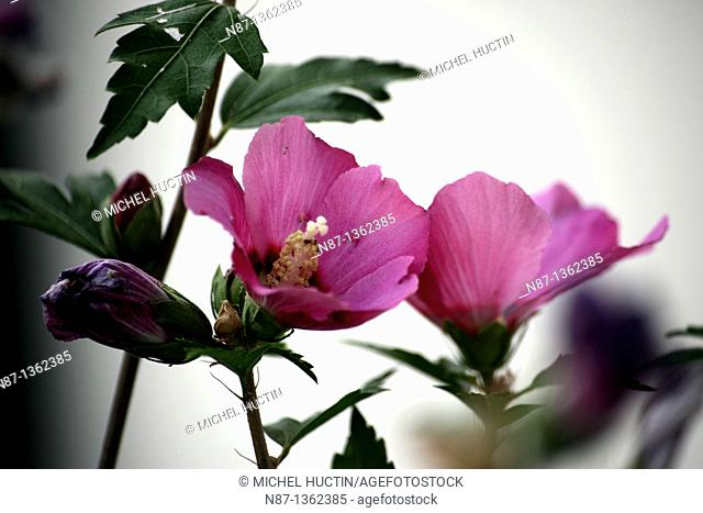 Hibiscus is a perennial shrub with flowers, Pink also called Chinese or cayenne Family Malvaceae Origin = = south-east Asia and the Polynesian islands