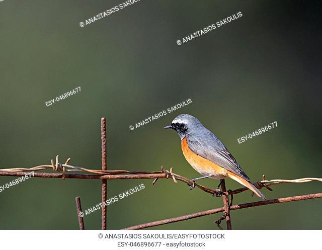 Common Redstart (Phoenicurus phoenicurus), Greece